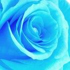 Cómo cultivar rosas azules