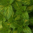 Quais os benefícios de comer folhas de menta inteiras?