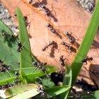 Cómo alimentar hormigas mascotas