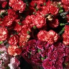 Are Carnations Poisonous to Cats?