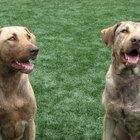 Enfermedades que causan una erupción negra en la piel de los perros