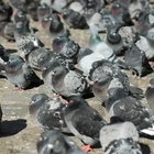 How to get rid of doves and pigeons