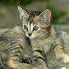 Brittle Bone Disease in Felines