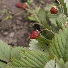 Ants & strawberry plants