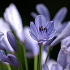 How to treat diseased agapanthus