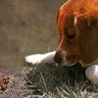 Mini Beagle Information