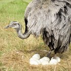 How to Paint Ostrich Eggs