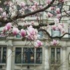 ¿Las raíces de los árboles de magnolias dañan los cimientos de las casas?