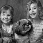 Bichon Shih Tzu Puppy Guide