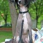 Hypoallergenic Miniature Dogs