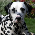 Itching skin in a dalmatian