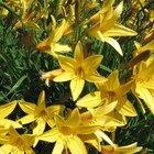 Las plantas en la familia de las liliáceas