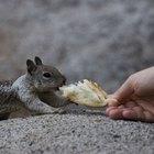 ¿Qué tipo de alimentos comen las ardillas?