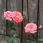 Gusanos verdes en rosales