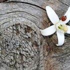 Significado de las flores de naranjo