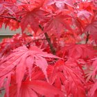 The Symbolism of the Japanese Maple Tree