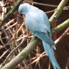 Quais são os sinais da ovipostura de um periquito fêmea?