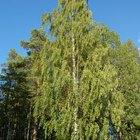 Silver Birch Tree Allergy