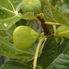 What Causes Fig Tree Leaves to Wilt?