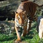 ¿Qué tan rápido corren los tigres?