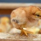 Cómo saber si tu pollito es un gallo o una gallina
