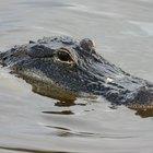 ¿Cómo saber la diferencia entre macho y hembra de aligátores o lagartos?
