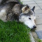 How to Stop Diarrhea in Siberian Huskies