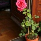 Información sobre los tipos de hojas de la rosa