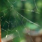 Qual a expectativa de vida de uma aranha doméstica?