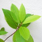 How to take cuttings from bay trees