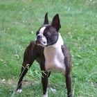 Entrenamiento para un perro Boston Terrier