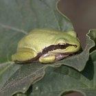 Información para niños sobre las ranas y los sapos
