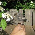 Como imitar assovios de pássaros