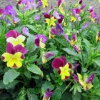 What to Do If My Pansies Wilted