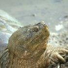 Historia de vida de la tortuga lagarto