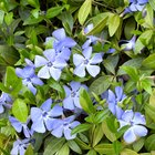 Facts on the periwinkle flower
