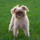 Diseases in Brussels Griffons