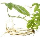 ¿Cómo llega el agua desde las raíces hasta las plantas?