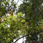 El sistema de raíz de un limonero