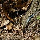 Toxicidad de la lagartija de cola azul