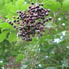 Quais são as árvores frutíferas que vivem com pouca luz?