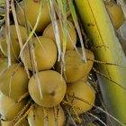 Como um coqueiro se reproduz?