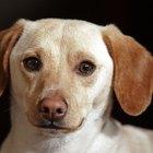 ¿Qué es un dachshund piebald?
