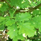 Facts for kids about oak trees