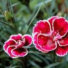 Tipos de flores da Romênia