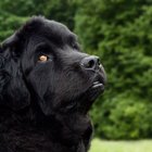 Early Care and Training for a Newfoundland Puppy