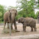 Como diferenciar elefantes machos e fêmeas