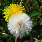Plantas de flores enmacetadas que parecen dientes de león