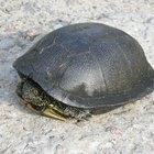 Por que as tartarugas significam espiritualidade?
