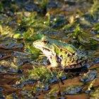 Hábitat de la rana verde